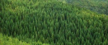 巨大的绿色健康云杉的树森林鸟瞰图,全景纹理 免版税图库摄影