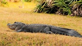 巨大的gator 库存图片