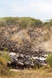 巨大迁移在非洲 草食动物巨大的牧群穿过河 肯尼亚mara马塞语 免版税库存图片