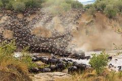 巨大迁移在非洲 草食动物巨大的牧群穿过玛拉河 肯尼亚 免版税库存图片