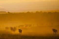 巨大迁移,肯尼亚 免版税库存照片
