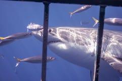 巨大鲨鱼白色 免版税库存照片