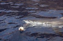 巨大鲨鱼白色 图库摄影