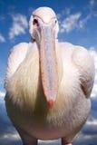 巨大鹈鹕白色 免版税库存图片