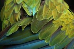 巨大绿色金刚鹦鹉(Ara ambiguus)全身羽毛纹理 图库摄影