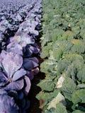 巨大4棵圆白菜的域 免版税库存照片