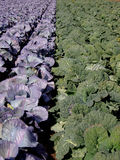 巨大5棵圆白菜的域 免版税库存照片