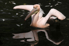 巨大onocrotalus pelecanus鹈鹕白色 免版税库存图片