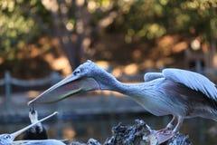 巨大onocrotalus pelecanus鹈鹕白色 库存照片