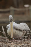 巨大onocrotalus pelecanus鹈鹕白色 免版税库存照片