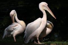 巨大onocrotalus pelecanus鹈鹕白色 免版税图库摄影