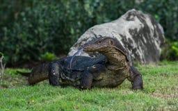 巨晰属在Lumpini公园,曼谷,泰国的监控蜥蜴 免版税图库摄影