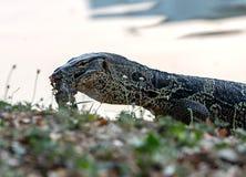 巨晰属salvator是吃尸体在公园的岸附近 免版税库存照片