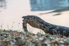 巨晰属salvator是吃尸体在公园的岸附近 免版税图库摄影
