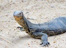 巨晰属salvator蜥蜴 图库摄影