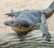 巨晰属salvator蜥蜴 免版税库存图片