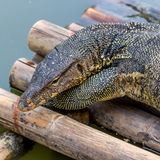 巨晰属salvator蜥蜴 库存照片