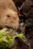 巨水鼠吃 库存图片