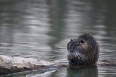 巨水鼠或nutria (Myocastor巨水鼠)在水中。 免版税库存图片