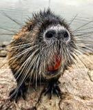 巨水鼠 库存照片