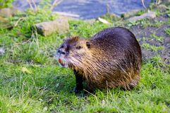巨水鼠- Nutria -南美海狸 免版税库存照片
