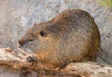 巨水鼠Myocastor巨水鼠、亦称河鼠或者nutria 库存照片