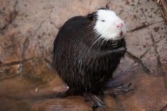 巨水鼠myocastor巨水鼠 库存照片