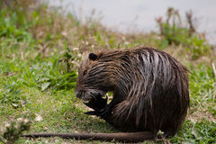 巨水鼠myocastor nutria 库存照片