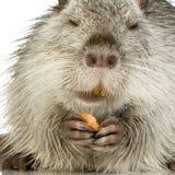 巨水鼠nutria 免版税库存图片