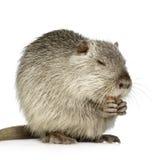 巨水鼠nutria 免版税图库摄影