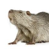 巨水鼠nutria 图库摄影