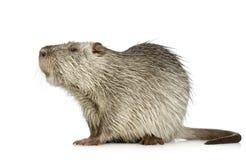 巨水鼠nutria 库存照片