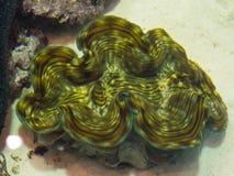 巨蛤gigas是大盐水蛤蜊类在鱼缸的 免版税库存图片