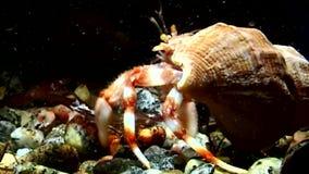 巨蟹星座寄居蟹扯拽壳水中寻找白海食物  股票录像