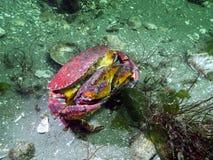 巨蟹星座长身贝红色岩黄道蟹 免版税库存照片