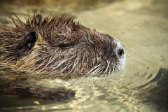 巨水鼠在水中 免版税库存照片