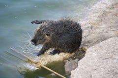 巨水鼠或nutria 免版税库存图片