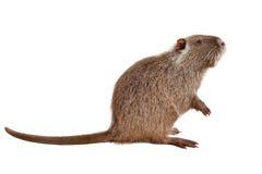巨水鼠的画象,坐在外形 免版税库存图片