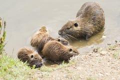 巨水鼠系列 免版税库存图片