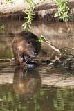 巨水鼠(Myocastor巨水鼠) 免版税库存照片