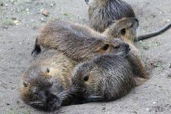 巨水鼠(Myocastor巨水鼠) 库存图片