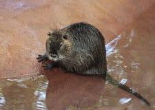 巨水鼠(Nutria) 库存照片