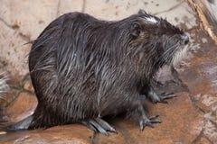 巨水鼠myocastor巨水鼠 库存图片