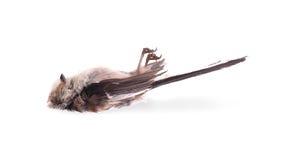 已故的长尾的山雀 库存图片