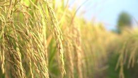 已经是成熟的在领域的米种子 股票录像