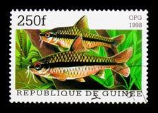 巴勃(Barbodes miolepis),鱼serie,大约1998年 免版税库存照片