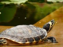 巴勒莫,西西里岛,意大利 在植物园的乌龟 库存图片