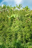 巴南树在咖啡种植园在Jerico哥伦比亚 库存图片
