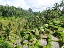 巴厘岛水稻大阳台 图库摄影