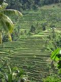 巴厘岛水稻 库存图片